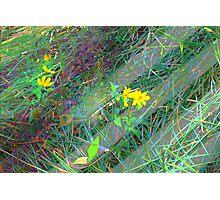 Little yellow daisy-like wildflowers Photographic Print