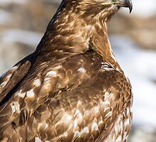 Red-tailed Hawk: Blood-caked Beak by John Williams