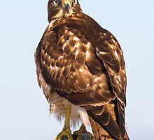 Red-tailed Hawk: Intensity by John Williams