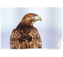 Red-tailed Hawk: 360 Degrees Poster