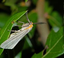 Delicate Cycnia or Dogbane Tiger Moth by Michael L Dye