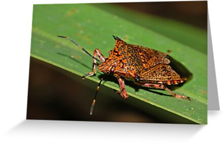 Giant Strong-nosed Stink Bug by Michael L Dye