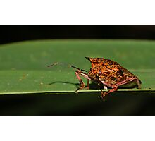 Giant Strong-nosed Stink Bug Photographic Print