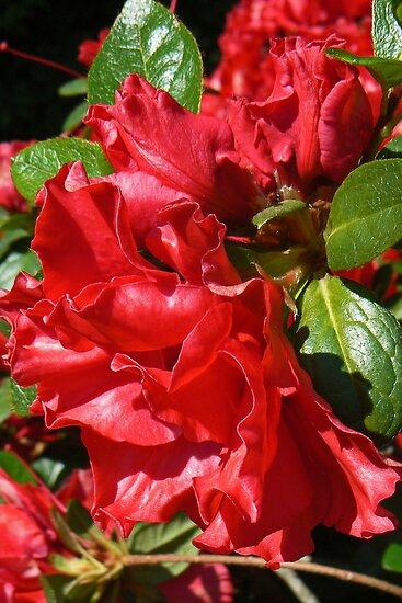 Rich Red Azalea by Graeme  Hyde