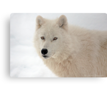 Winter in Canada trough the eyes of an Arctic Wolf Metal Print