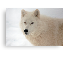 Winter in Canada trough the eyes of an Arctic Wolf Canvas Print