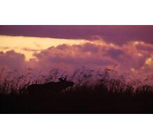 Rutting Bull Moose Photographic Print
