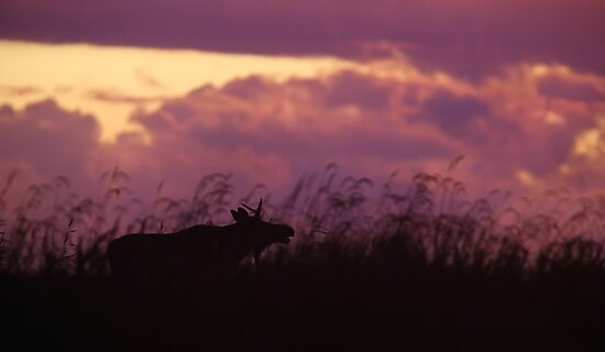 Rutting Bull Moose by Remo Savisaar