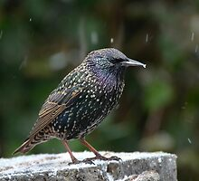 Starling by Peter Wiggerman