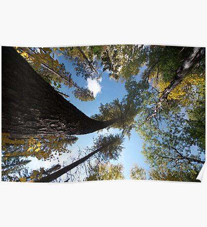 Big Pines Algonquin Park, Northern Ontario Poster