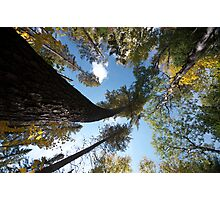 Big Pines Algonquin Park, Northern Ontario Photographic Print
