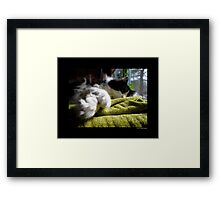 Felis Catus - Male Tuxedo Maine Coon Cat Paws  Framed Print