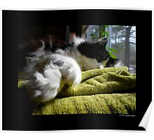 Felis Catus - Male Tuxedo Maine Coon Cat Paws  Poster