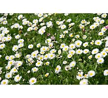Little Daisies Photographic Print