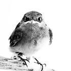 Welcome Swallow (Hirundo neoxena) by Gary Beilby