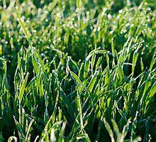 Morning dew by Harald Walker