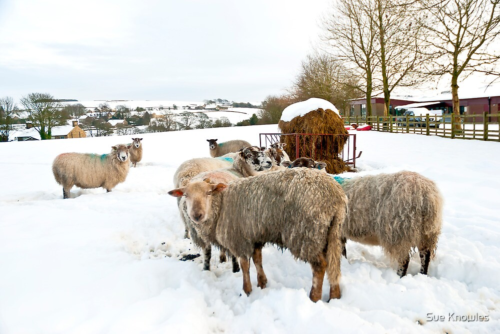 Winter Sheep by Sue Knowles