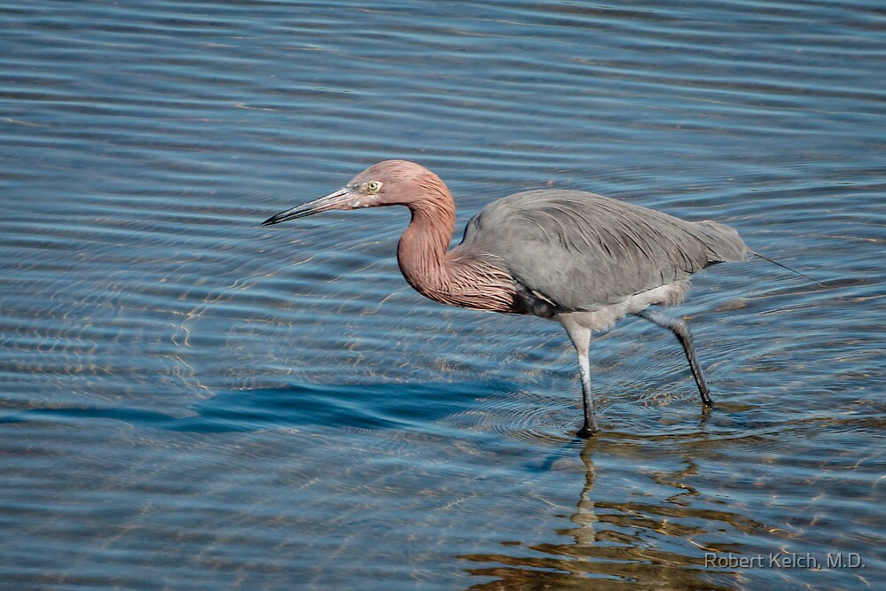 Reddish Egret on Laguna Madre by Robert Kelch, M.D.
