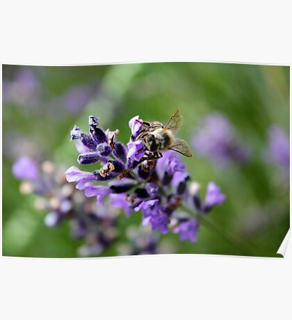 Lavender Bee  Poster