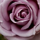 Beautiful Rose by reflectyours