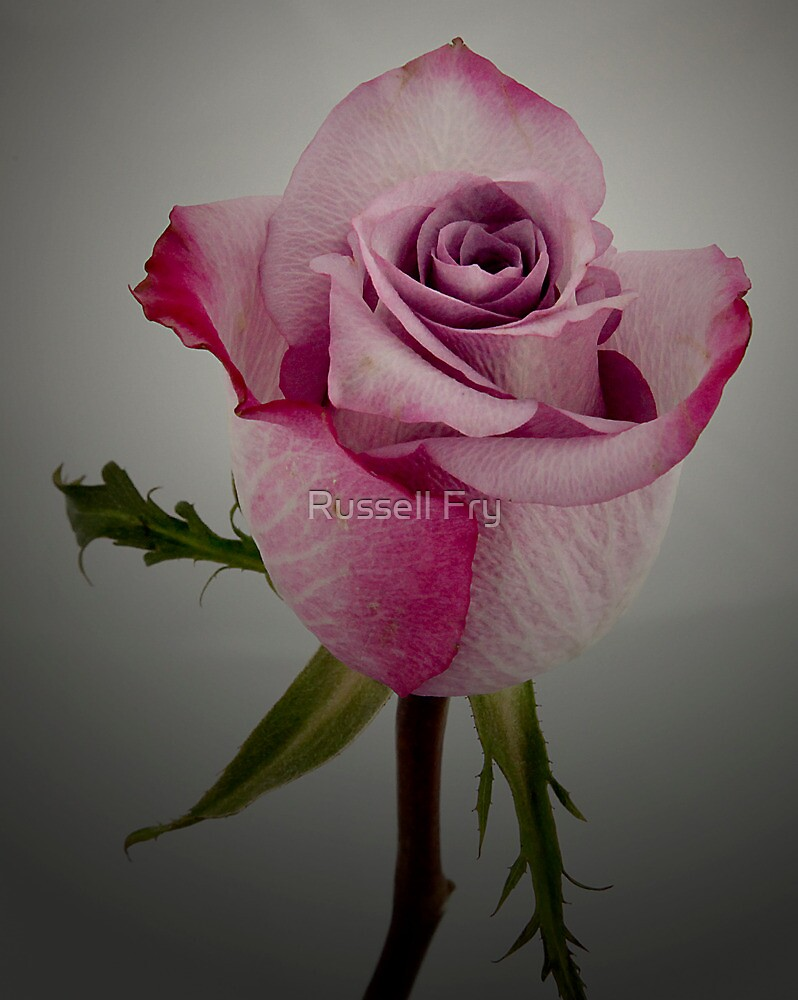 Rose 1 by Russell Fry