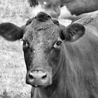 Cow, Western Kentucky by Crystal Clyburn