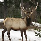 Canadaian Deer by Aaron Paul Stanley