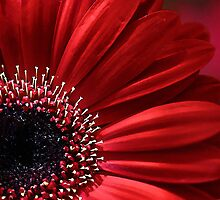 Gerbera by Robyn Carter