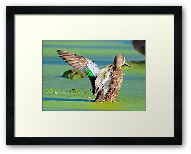 BLUE WING TEAL by imagetj