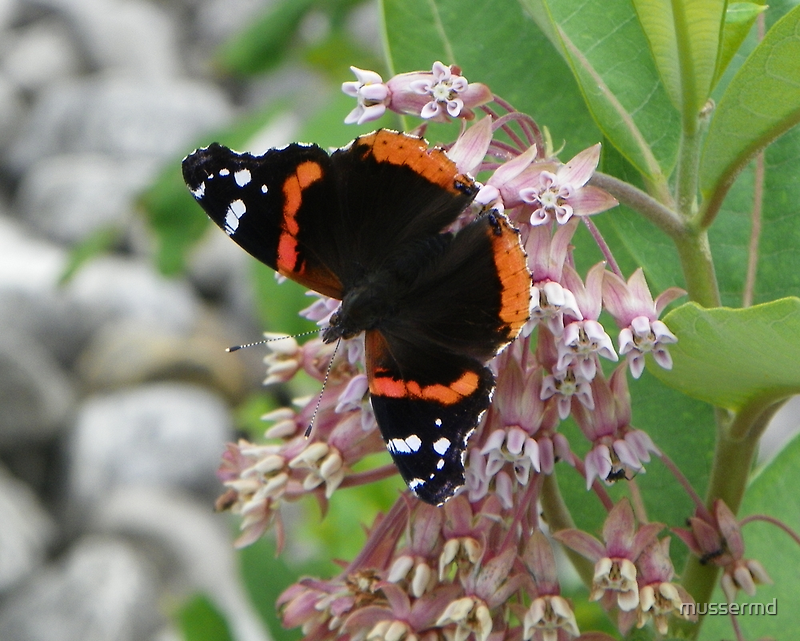 Red Admiral searching for open flowers by mussermd
