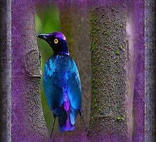 A beautiful Purple Glossy Starling by grittynitty