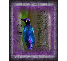 A beautiful Purple Glossy Starling Photographic Print