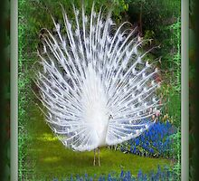 Beautiful White Peacock by grittynitty