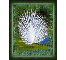 Beautiful White Peacock Photographic Print