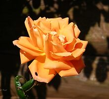 Apricot Rose in the Sun by LoneAngel