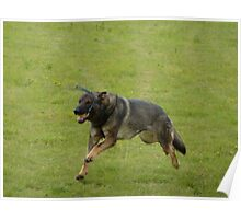 German shepherd running with a toy Poster