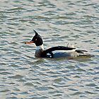 Red-breasted Merganser by VoluntaryRanger