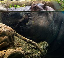 Mr. Hippo by jswolfphoto