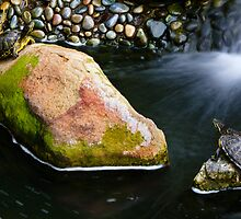 Turtles Near Falls by jswolfphoto