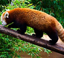 Walking Red Panda by jswolfphoto