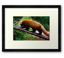 Walking Red Panda Framed Print