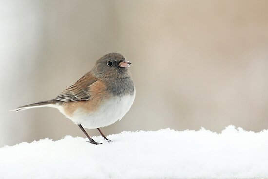Female Dark-Eyed Junco ~ by Renee Blake