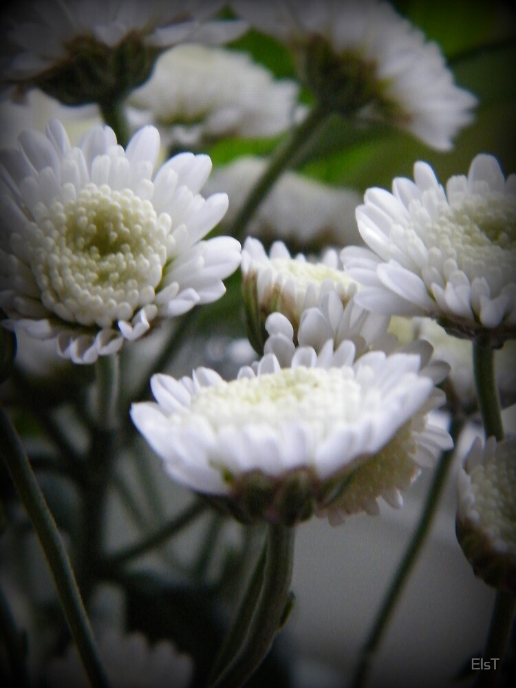 Daisies by ElsT