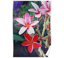 Pink and red plumeria Poster