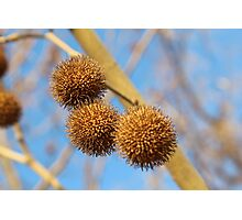 Chestnut Tree Photographic Print
