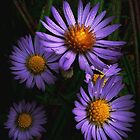 Wild Asters by BavosiPhotoArt