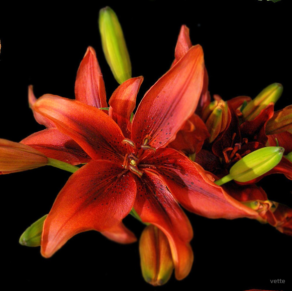 Delightful Lily by vette