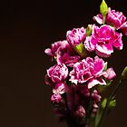 Carnations by Maria Tzamtzi