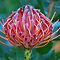  Protea by Lozzar Flowers &amp; Art