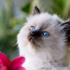 Ragdoll Kittens by geomar